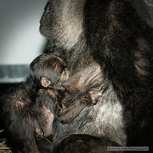 New Born Gorilla Gaia Zoo Kerkrade