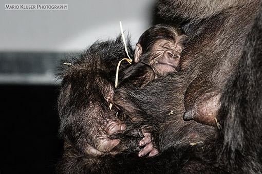 New Born Gorilla Gaia Zoo Kerkrade